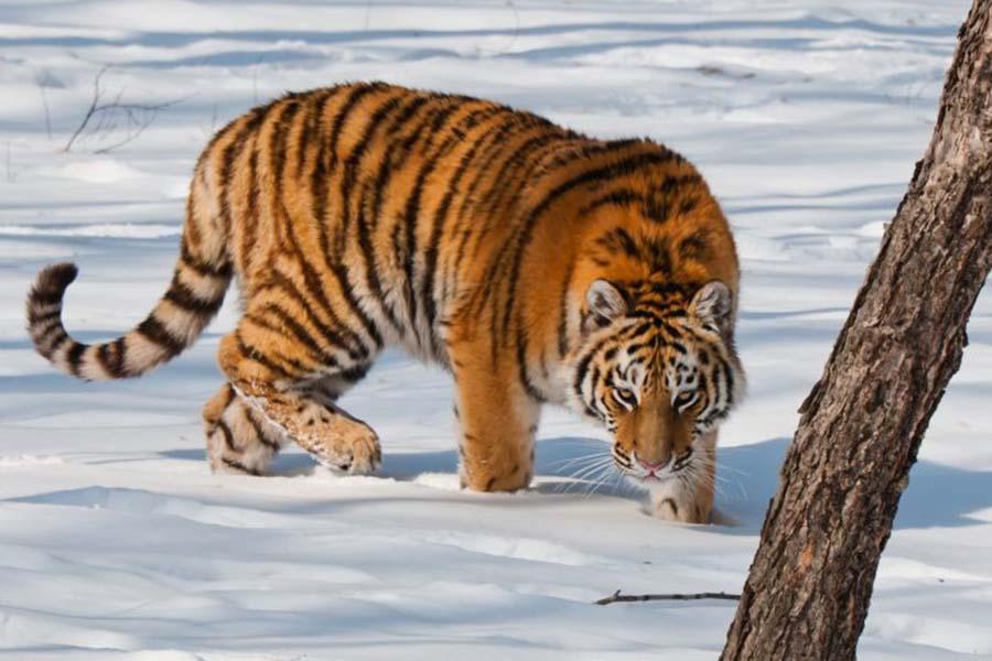 2-amurskij-tigr-1.jpg